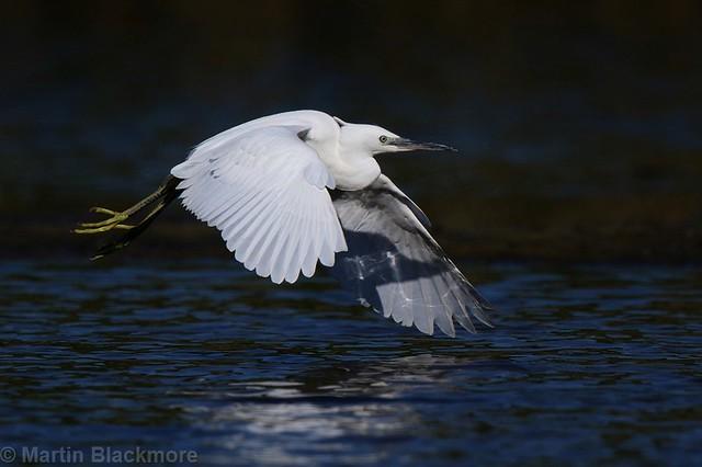 Little Egret in flight 82996