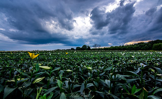 Lily field2 | by walter.roost
