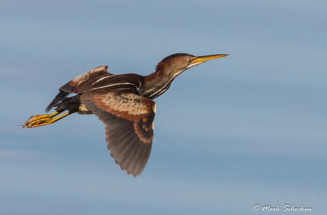 Finally, a decent shot of a least bittern and in flight, no less!
