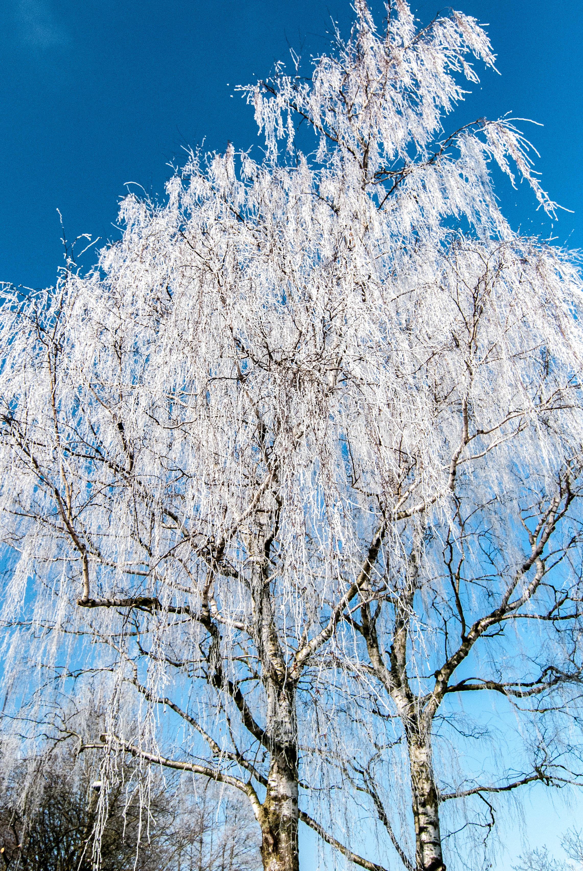 20130315 Frosty Birchtree