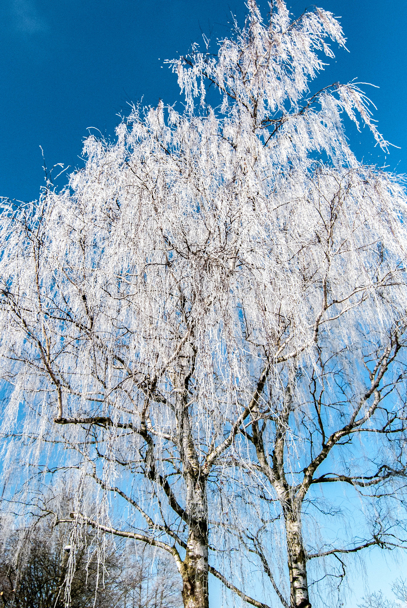 20130315 Frosty Birchtree