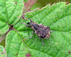 Horsetail Weevil - Grypus equiseti