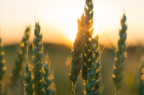 Wheat in the sunset | by Theo Crazzolara