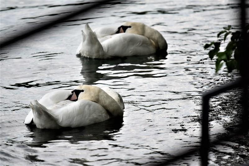 Swans 13.07 (1)