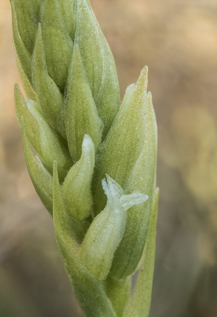 Spiranthes romanzoffiana, Hooded Ladies' Tresses, First Bud