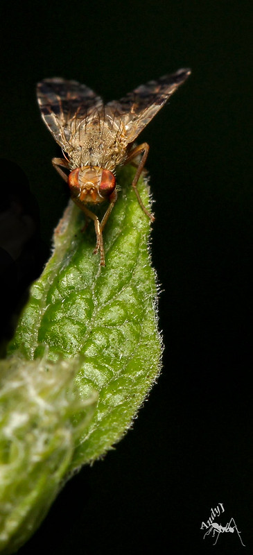 Banded Burdock Fly (Terellia tussilaginis)4
