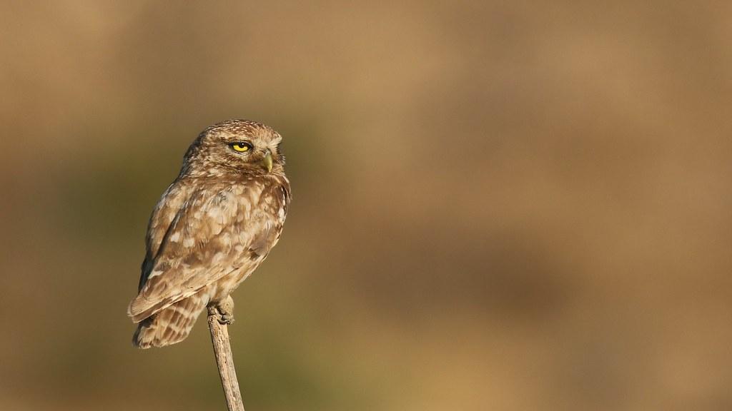 Little Owl (explored)