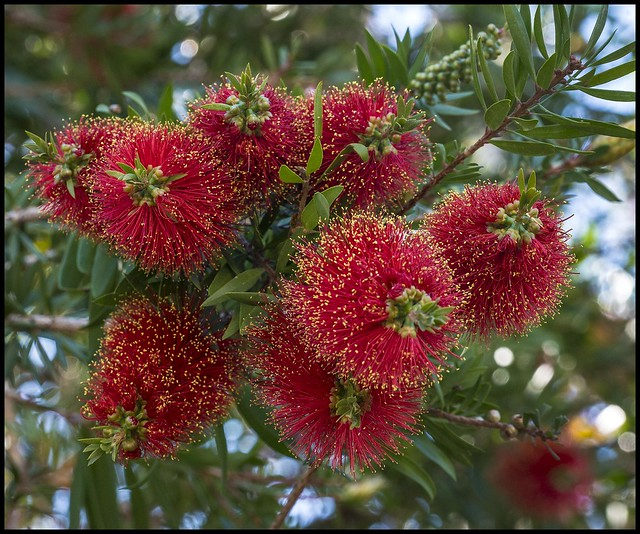 Red Bottle Brush in Bloom Redcliffe-1=