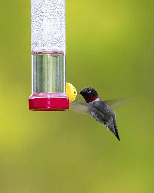 Ruby-throated Hummingbird 2017