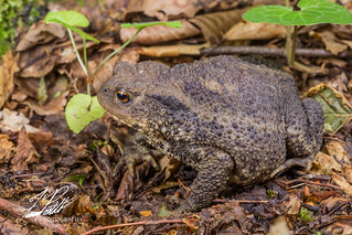 European Common Toad | by Frank Portillo