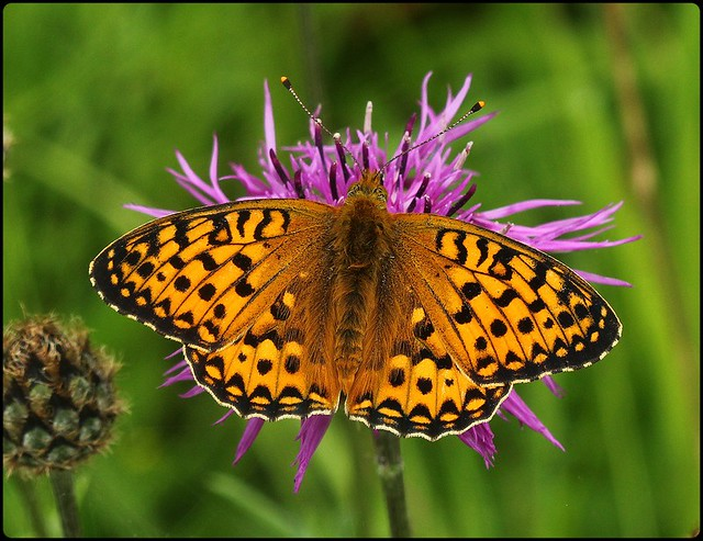 Dark Green Fritillary - nectaring on knapweed