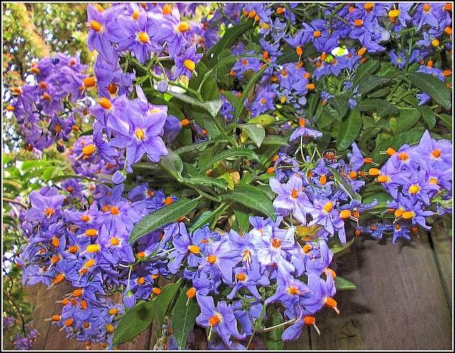 Solanum dulcamara ..