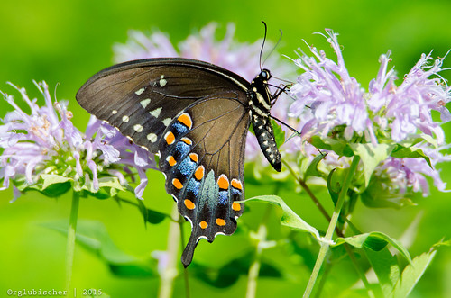 butterfly insect us newjersey unitedstates wildlife bugs monmouthcounty jerseyshore mothernature spicebushswallowtail papilionidae papiliotroilus walltownship allairestatepark allairevillage nikond7000 tamronsp150600mmf563divcusd