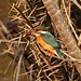 Kingfisher : Glimpses of my trip to Sunderbans, a UNESCO World Heritage Site for halophytic mangrove forest. by biswarupsarkar72