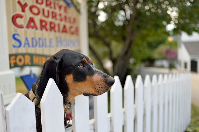 Mackinac Island dog