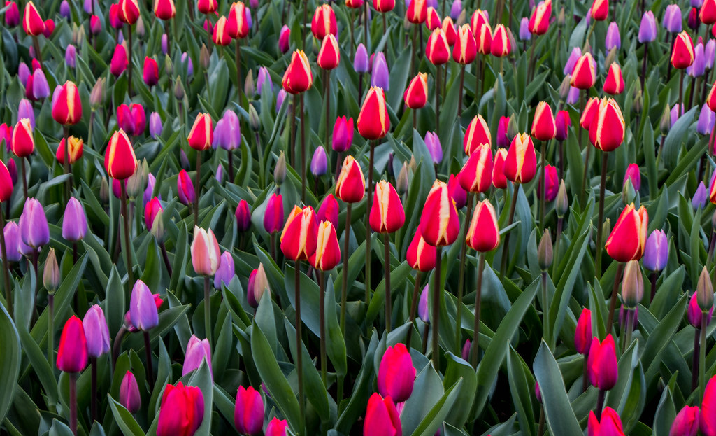 Image result for tulips in amsterdam