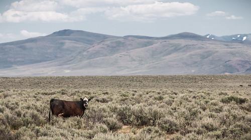 Livestock Grazing on Public Lands   by BLMOregon