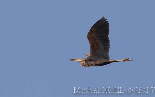 Héron pourpré Ardea purpurea - Purple Heron : Michel NOËL © 2017-7285.jpg