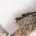 ツバメ(Barn swallow)