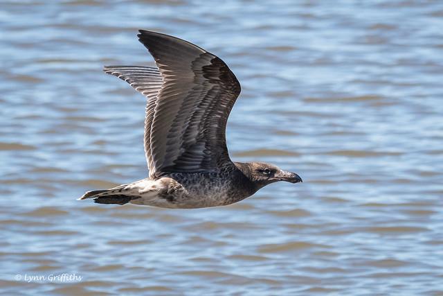 Juvenile Pacific Gull D50_7737.jpg
