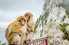 The Barbary Apes of Gibraltar