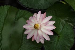 Monsoon Lotus!!!