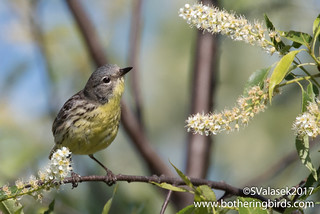 Kirtland's Warbler | by Bothering Birds