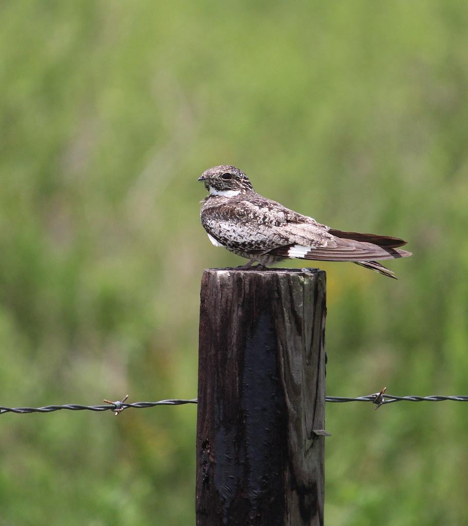Common Nighthawk 2 Anahauc NWR