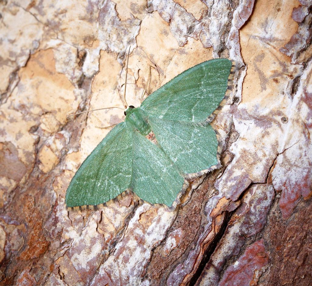 [1669] Common Emerald (Hemithea aestivaria)