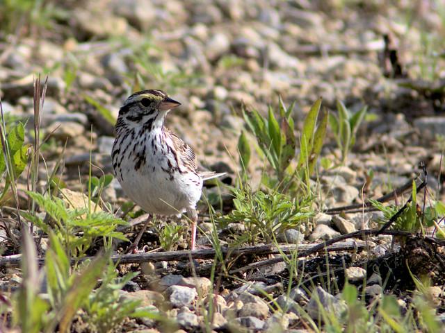 Savannah Sparrow 02-20170629