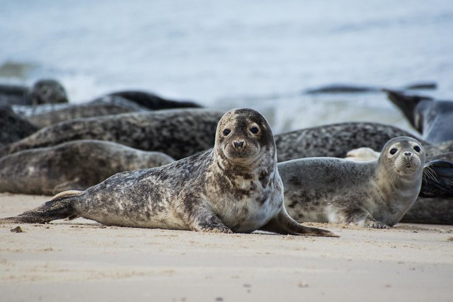 Harbour Seal Pups