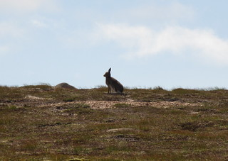 Hare on the platau | by malky_c