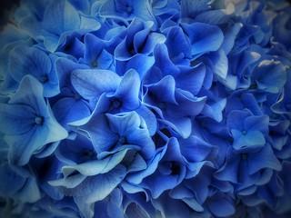 Hydrangea Bloom | by vwcampin