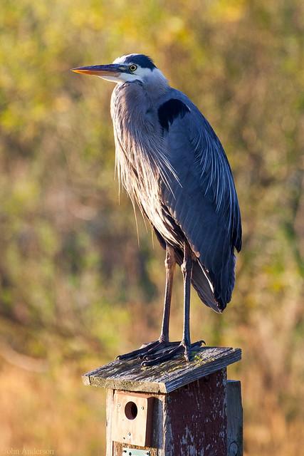 Heron on bird house