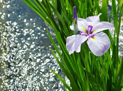 Japanese Iris 花菖蒲 (hanasyoubu)