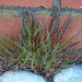 Catapodium marinum (Sea Fern-grass) by sianmatthews25