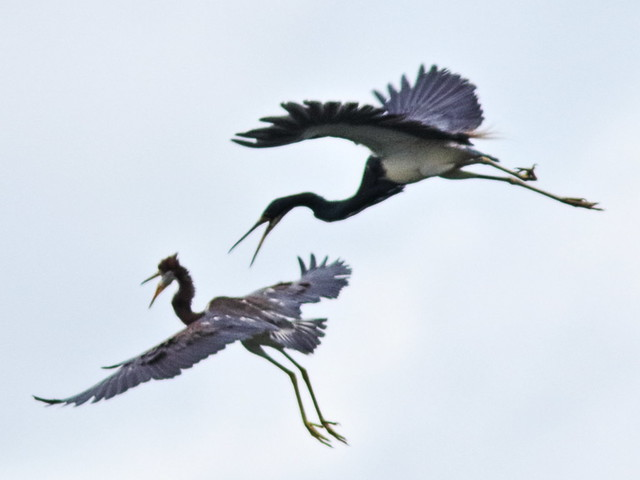 Tricolored Heron imm chases adult 098-20170612
