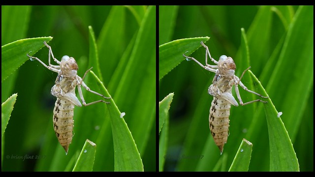 Exuvia of a dragonfly - 3d cross-view