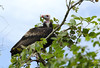 White-headed Vulture by zimbart