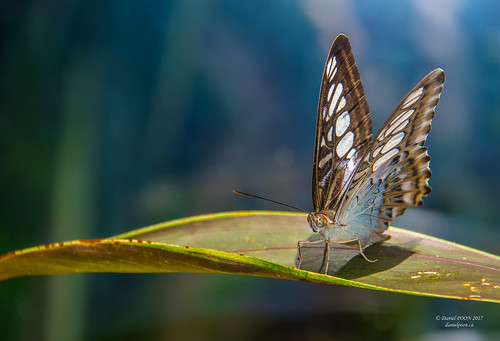 insect butterfly musictomyeyes artistoftheyear amazingphoto 123 blinkagain blinkstomyeyes flickr nikonflickraward simplysuperb simplicity storytelling nationalgeographic ngc opticalexcellence beauty beautifullight beautifulcapture level2autofocus landscape waterscape bydanielpoon danielpoonca worldtravel superphotosgroup theamusingphotogroup powerofnikon aplaceforgreatphotographers natureimage focusandclick portrait