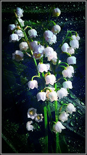 Lily of the valley -铃兰- Convallaria majalis TudioJepegii