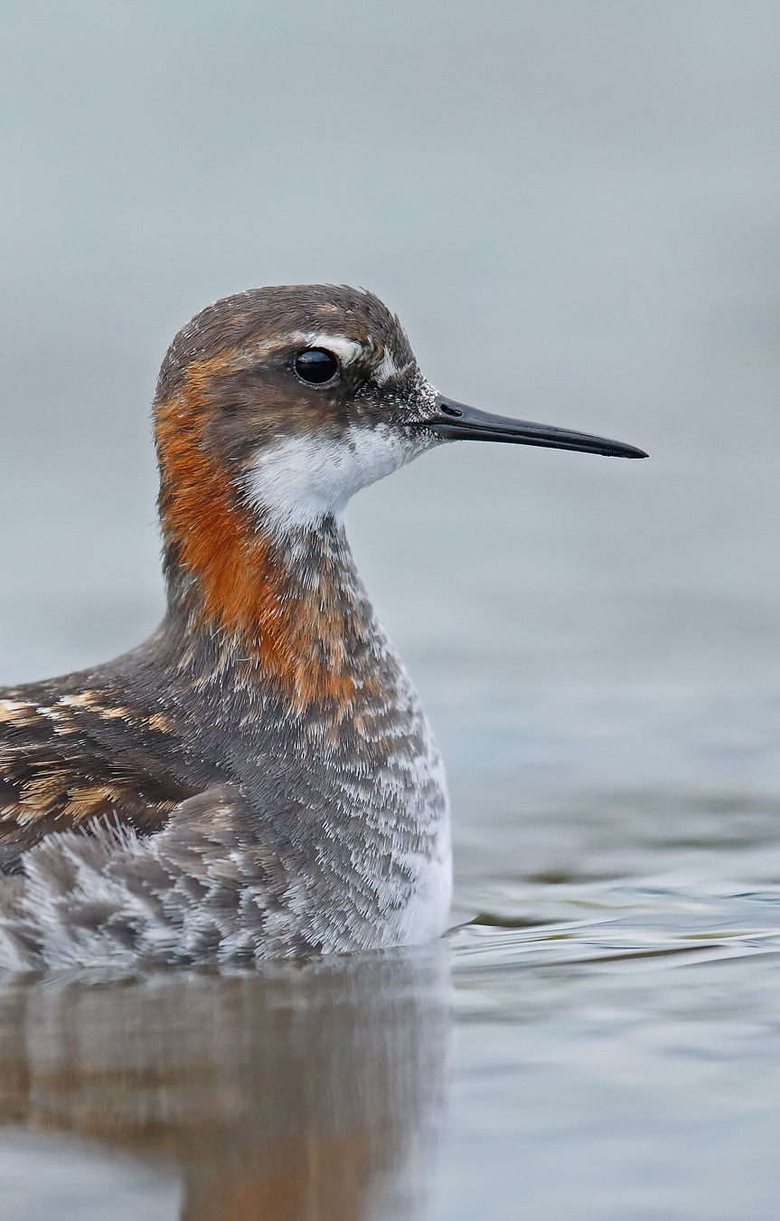 Red-necked Phalarope - male