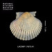 Pacific Calico Scallop - Photo (c) LACMIP, some rights reserved (CC BY-NC-ND)