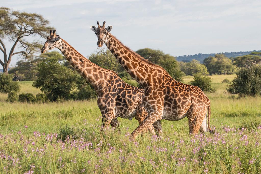 Žirafy v národním parku Tarangire