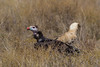 White-headed Vulture (Trigonoceps occipitalis) by Hector16