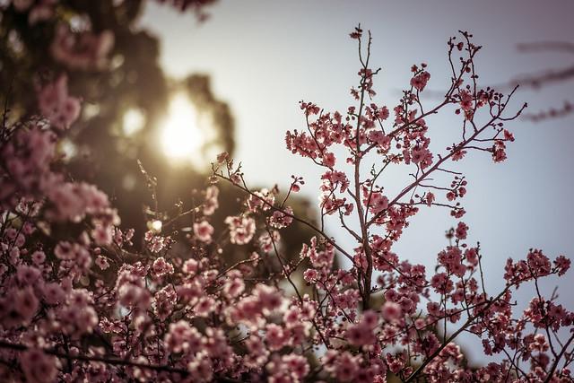 Cheery Blossom Festival I