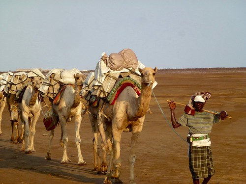 Camels transporting salt from Danakil Depression, Ethiopia