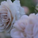 Rose 'Grey Pearl' raised in UK