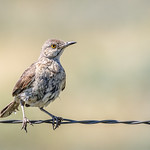 Sage Thrasher [Explored]