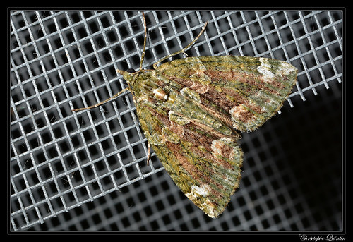 Cidarie à bandes vertes (Chloroclysta siterata)